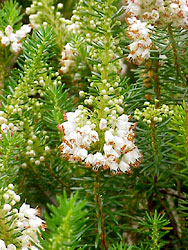 Cornish heath, Erica vagans