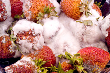 Moldy strawberries covered with Rhizopus mycelium