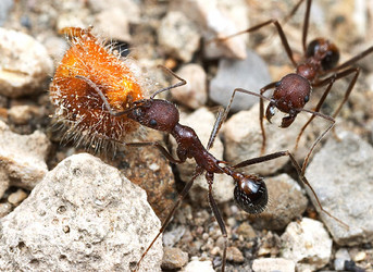 Aphaenogaster albisetosa workers collecting seeds