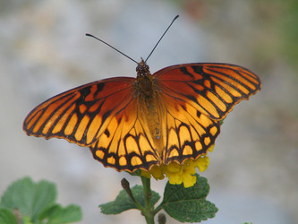 Mexican Silverspot
