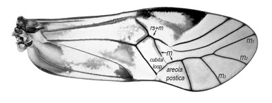 Forewing of Ptycta johnsoni.  Cubital loop and areola postica joined to M is typical of the family Psocidae.  The fusion of veins Rs+M distinguishes the genus Ptycta the sister genus Copostigma.